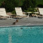Mamma & Papa duck try to lead ducklings out of pool
