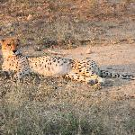 Cheetah near the camp