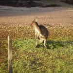 Kangaroo outside the cabin