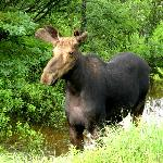  Big Moose in the ditch