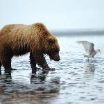 Bear digging clams on beach