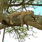 A Leopard having a snooze in a tree
