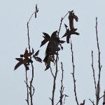 New Plymouth Tui, a songbird