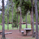 Herd of Bison going through campground