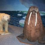Walrus and Polar Bear in the attached museum.