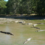 Wild Farm Crocodiles
