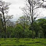 Tea gardens outside the Tea Bud Hotel