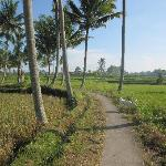Rice field walk behind Sawah sunrise