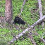 Black Bear from trail behind hotel
