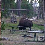 Old Bison wondering through cam