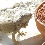  iguanas get close!
