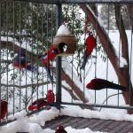 The Rosellas being fed on the dining room balcony