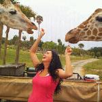  Giraffe feeding