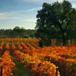 A beautiful local autumn vineyard