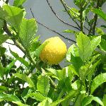 lemon tree on the grounds