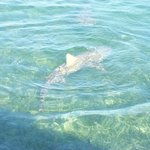 Lemon shark in shallow water.