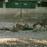 endangered Visayan Spotted Deer