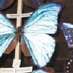 Butterfly specimens from around the world
