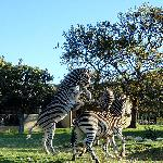 Zebra in front of the cottages