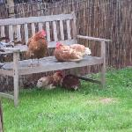 Free ranging chickens relaxing after making eggs for us!