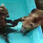 Bears playing in pool