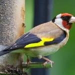  Goldfinch feeding - a view from the breakfast room.