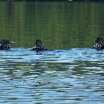 3 loons in front of our canoe!