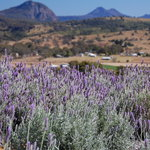 across the lavender and vineyards