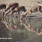 Impala's busy drinking while on safari.