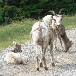 Three mountain goats