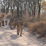  amazing encounter with a pride of lions