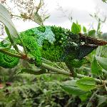 Male chameleon- charismatic!