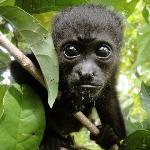 "Baby ""SIBU"" was the first Howler Monkey born at SIBU Sanctuary!"
