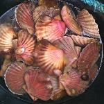 The scallops we caught