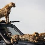 Naboisho Camp - Cheetah cubs on car