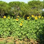 some of the sunflowers sorrounding the property