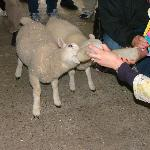  Rathbaun Sheep Feeding