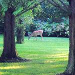 Deer on Enclave Inn grounds