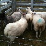 agricultutral fair in south uist