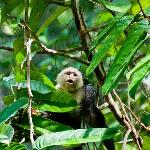 One of a bunch of capuchins on the trails