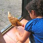 Friendliest Chicken in the World