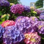  gorgeous hydrangeas