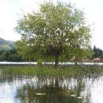 "the ""floating"" tree in the middle of the lake"