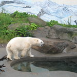 Quebec Aquarium - Polar Bear
