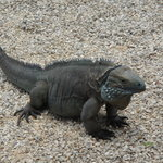Blue Iguana Recovery Program Safari Tour