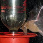  A bat photo, taken through the dining room window