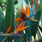 Bob's double-blooming Bird of Paradise