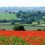  Breathtaking field of Flanders poppies nearby