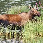  Moose in small lake ten minutes south of Beaver Creek