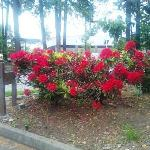  Red Rhododrendrons in Bloom